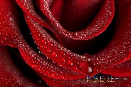Красная роза - PSD исходник