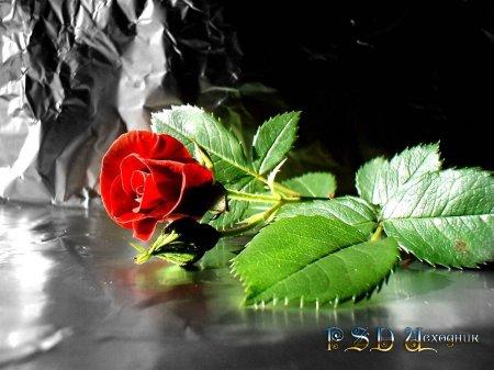 Красная роза PSD исходник