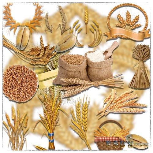 Растровые клип-арты - Колоски и зерна